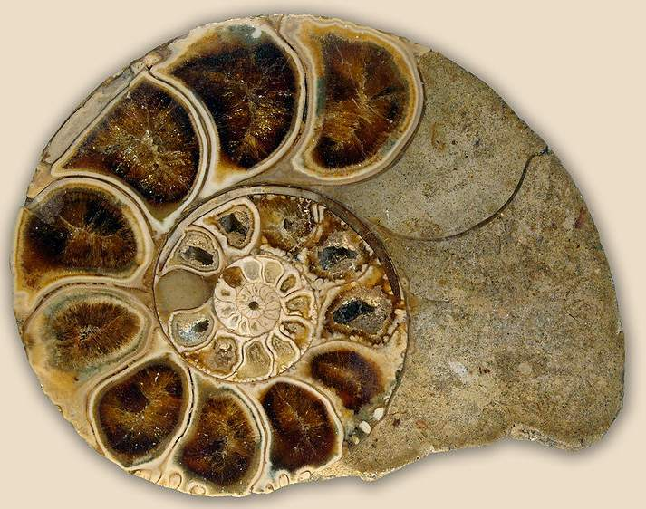 coupe ammonite